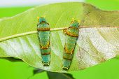 picture of caterpillar  - Close up of Banded Swallowtail  - JPG