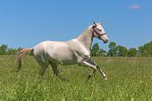 pic of galloping horse  - Young Akhal Teke horse gallops through the meadow - JPG