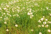 pic of grassland  - Grasslands with dandelion flower blossoms during spring - JPG