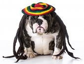 picture of dreadlock  - funny dog wearing dreadlock wig on white background  - JPG