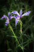 foto of purple iris  - A nice shot of a stylish purple iris flower in a countryside field - JPG