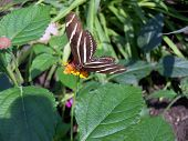 Постер, плакат: Zebra Longwing Butterfly