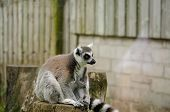 image of tail  - Ring Tailed Lemur Sitting on Top of a Tree Stump in Captivity - JPG