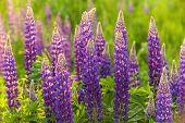 stock photo of wildflower  - Summer wildflowers lupine - JPG