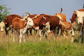 foto of hereford  - A group of Hereford cows being rounded up for branding - JPG