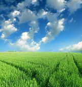 foto of nubian  - green wheat field - JPG