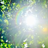 stock photo of canada maple leaf  - Beautiful fresh green maple leaves against the sun with sunbeams - JPG