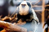 picture of titi monkey  - Monkey white - JPG