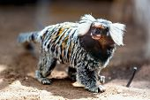 foto of titi monkey  - Monkey white tufted marmoset or titi de penachos blancos - JPG