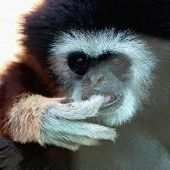 pic of marmosets  - Closeup of the monkey portrait in zoo - JPG