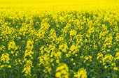 pic of rape  - Natural springtime oilseed rape field closeup view - JPG