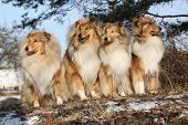 stock photo of scotch  - Group of scotch collies sitting together in the forest - JPG