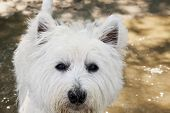 stock photo of westie  - West Highlands Terrier portrait in strict close up horizontal image - JPG
