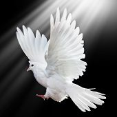 image of holy-spirit  - A free flying white dove isolated on a black background - JPG
