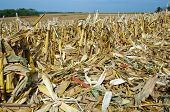 pic of ethanol  - Corn stalks - JPG