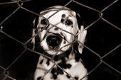 Постер, плакат: Далматин щенок