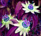 picture of passion fruit  - photo of three passion fruit flowers - JPG