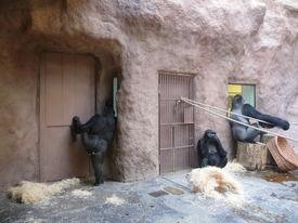 image of tarzan  - Big gorillas looking though a window in the zoo  - JPG