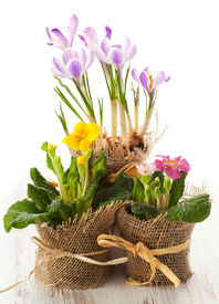 foto of flower pot  - Colorful spring flowers in pots - JPG