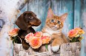 cat and dog, dachshund puppy chocolate color and kitten red poster