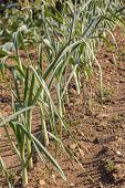 Spring Garlic Is Growing In The Vegetable Garden. Growing Garlic In A Plant. Farm Vegetable. Small S poster