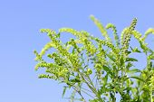stock photo of ragweed  - Flowering ragweed plant in closeup against blue sky a common allergen - JPG