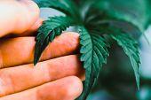 Young Beautiful Macro Cannabis Beautiful Background, Indoor Cultivation, Plant Medical Marijuana Mar poster
