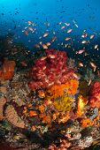 picture of raja  - Various fan corals and fish in a colorful general reef scene - JPG