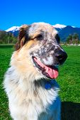 Portrait Of White, Brown And Black Fuzzy Dog Sitting In Green Grass And High Snow Mountain Peaks At  poster