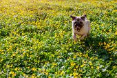 Pug Dog Running To Its Master In Spring Forest. Happy Puppy Having Fun Among Yellow Flowers In The M poster