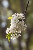 Cherry Blossom, Cherry Blossoming Twig, Spring Fruit Background. poster