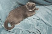 Hygge And Cozy Concept. British Gray Cat Resting On Cozy Blue Pled Couch In Home Interior. Close Up. poster