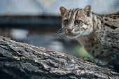 Close Up Portrait Prionailurus Viverrinus. The Fishing Cat Is The State Animal Of West Bengal. Asian poster