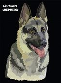 Colorful German Shepherd Vector Drawing Portrait. Isolated Vector Illustration On Black Background.  poster