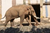 Red Elephant Walks In The Zoo. An Adult Brown Elephant Walks Along The Road. White Tusks Of An Eleph poster