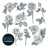 Roses Flowers Set, Vector Sketch Illustration. Hand Drawn Floral Nature Design Elements. Rose Blosso poster