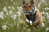 The Siberian Tiger (panthera Tigris Tigris), Or  Amur Tiger (panthera Tigris Altaica) Running In The poster