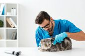 Concentrated Veterinarian Examining Tabby Scottish Straight Cat With Stethoscope poster
