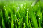 Green Juicy Grass Close-up. Background Of Green Young Grass. Green Grass Background. Young Growing R poster