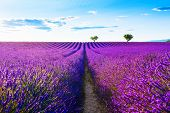Lavender Fields Near Valensole, Provence, France. Beautiful Summer Landscape At Sunset. Blooming Lav poster
