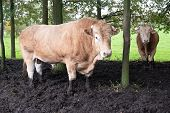 Huge Pedigree Limosine Bull Cow Grazing In The Sun On A Summer Meadow Between The Trees poster
