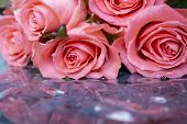 Beautiful Pink Flower In The Garden. Rose Flower Background. Roses Flower Texture. Beautiful Rose. R poster