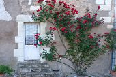 foto of climbing roses  - Climbing rose bush on an old farm house in France - JPG
