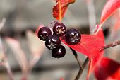 stock photo of aronia  - Black chokeberry  - JPG