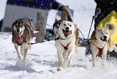 stock photo of sled-dog  - A husky sled dog team running fast with tongue outside by winter day - JPG