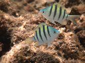 pic of damselfish  - Hawaiian Sergeant Damselfish  juvenile pair  - JPG