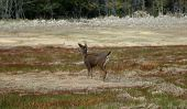 foto of blacktail  - blacktail deer on bathroom break - JPG