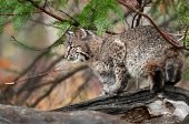 stock photo of bobcat  - Bobcat  - JPG