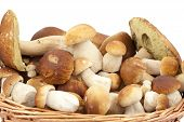 pic of boletus edulis  - big and little boletus  - JPG