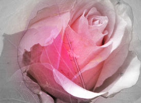 pic of pink rose  - a blending of transparent leaves and a rose - JPG